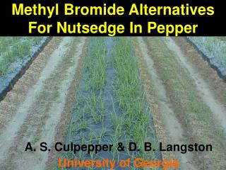 Methyl Bromide Alternatives For Nutsedge In Pepper