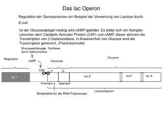 Das lac Operon