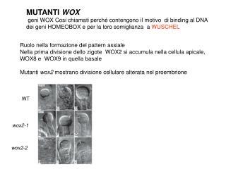 MUTANTI  WOX   geni WOX Cosi chiamati perché contengono il motivo  di binding al DNA