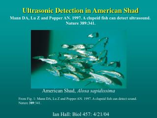 Ultrasonic Detection in American Shad