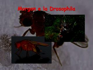 Morgan e la Drosophila