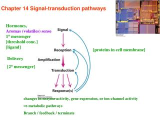 Chapter 14 Signal-transduction pathways