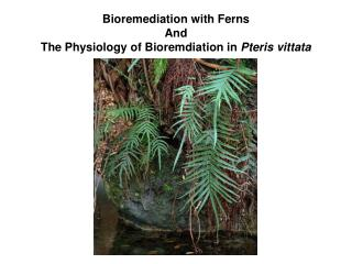 Bioremediation with Ferns And  The Physiology of Bioremdiation in  Pteris vittata
