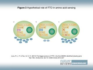 Figure 3  Hypothetical role of FTO in amino-acid sensing