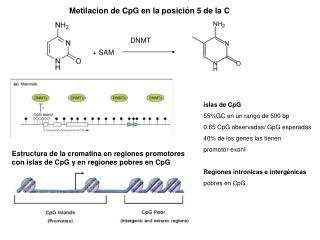 Estructura de la cromatina en regiones promotores con islas de CpG y en regiones pobres en CpG