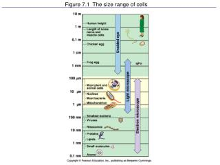Figure 7.1  The size range of cells