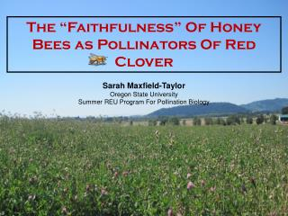 "The ""Faithfulness"" Of Honey Bees as Pollinators Of Red Clover"