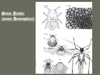 Stem Pests: (some Homoptera)