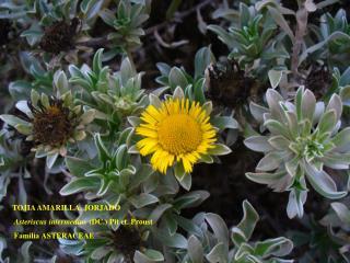 TOJIA AMARILLA, JORJADO Asteriscus intermedius  (DC.) Pit et. Proust Familia ASTERACEAE
