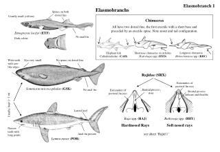 Elasmobranchs