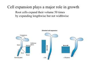 Cell expansion plays a major role in growth