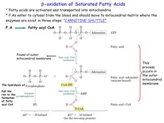 -oxidation of Saturated Fatty Acids