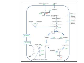 Glycerol-3-phosphate