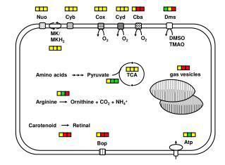 Arginine         Ornithine + CO 2  + NH 4 +