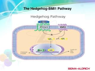 The Hedgehog-BMI1 Pathway