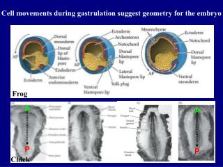 Cell movements during gastrulation suggest geometry for the embryo