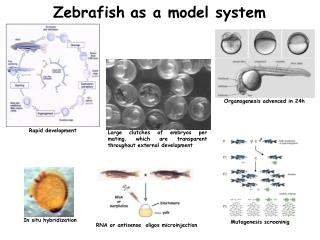 Zebrafish as a model system