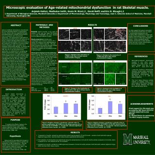 Microscopic evaluation of Age-related mitochondrial dysfunction  in rat Skeletal muscle.