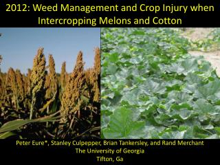 2012: Weed Management and Crop Injury when Intercropping Melons and Cotton