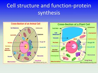 Cell structure and function-protein synthesis