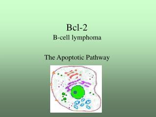 Bcl-2