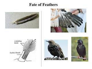 Fate of Feathers