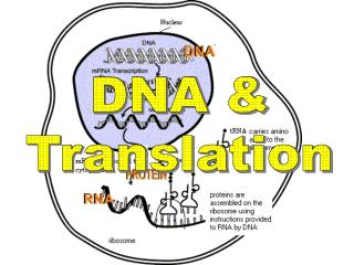 DNA & Translation
