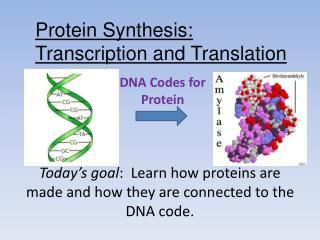 DNA Codes for Protein