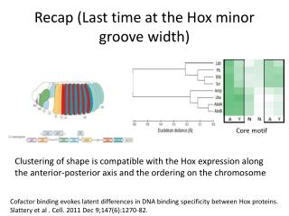 Recap (Last time at the  Hox  minor groove width)