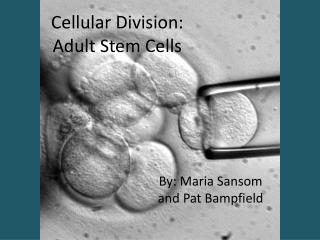 Cellular Division: Adult Stem Cells