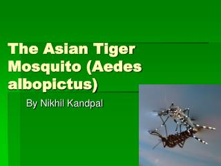 The Asian Tiger Mosquito (Aedes albopictus)