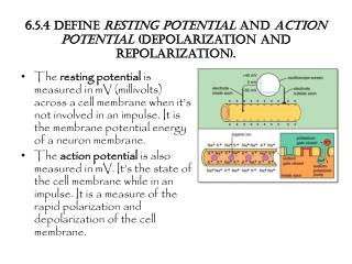 6.5.4 Define  resting potential  and  action potential  (depolarization and  repolarization ).
