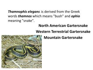 North American  Gartersnake Western Terrestrial  Gartersnake Mountain  Gartersnake
