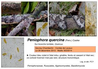 Peniophora quercina  (Pers.) Cooke