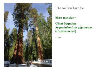 Most massive   Giant Sequoias Sequoiadendron giganteum Cupressaceae  ...