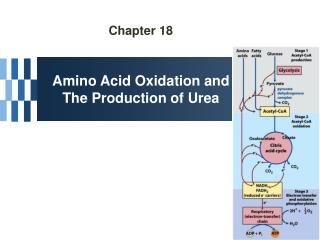 Chapter 18 Amino Acid Oxidation and The Production of Urea