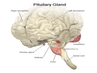 TROPIC HORMONES OF PITUITARY  Somatotropic  hormone  ( growth hormone)