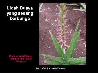 Lidah Buaya yang sedang berbunga