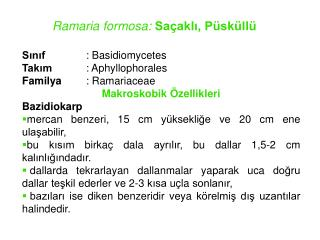 Ramaria formosa:  Sa�akl?, P�sk�ll�