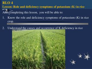 RLO 4 Lesson:  Role and deficiency symptoms of potassium (K) in rice