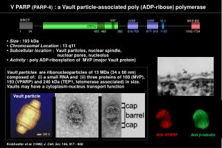 V PARP  (PARP-4)  : a Vault particle-associated poly (ADP-ribose) polymerase