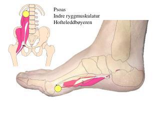 Psoas Indre ryggmuskulatur Hofteleddbøyeren