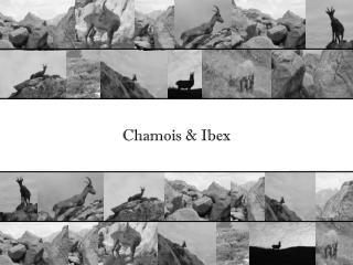 Chamois & Ibex