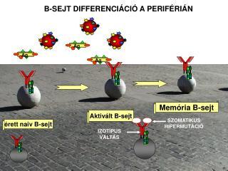 Aktivált  B -sejt