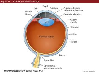 Figure 11.1  Anatomy of the human eye