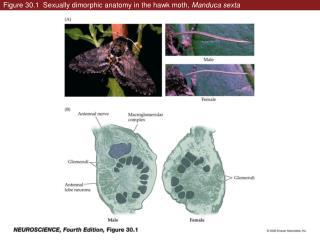 Figure 30.1  Sexually dimorphic anatomy in the hawk moth,  Manduca sexta