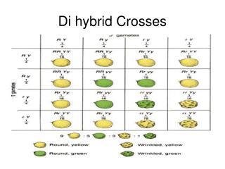 Di hybrid Crosses
