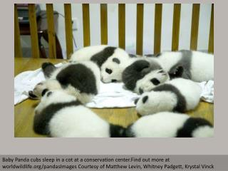 WWF: Giant Panda conservation