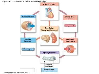 Figure 21-8  An Overview of Cardiovascular Physiology