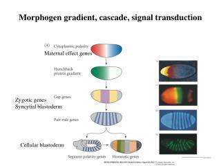 Morphogen gradient, cascade, signal transduction